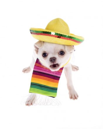 Angry Festive Mexican Chihuahua Showing Teeth
