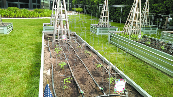 Raised beds contain small plants that will yield organic vegetables.