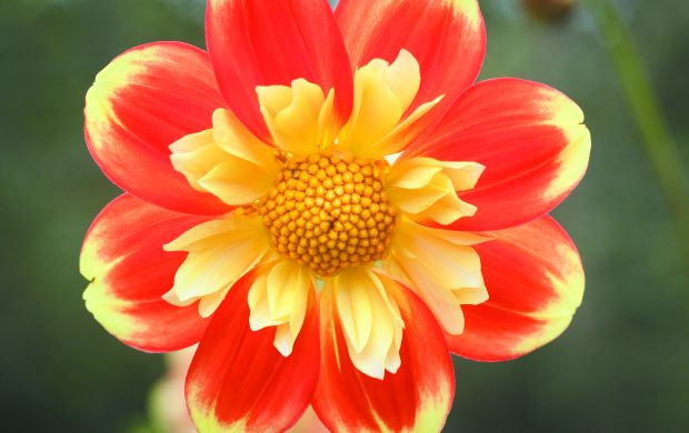 Joy! A West Bloomfield dahlia garden brims with beauty and benevolence