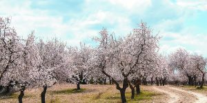 The Almond Tree is Blooming – Tu b-Shevat Song