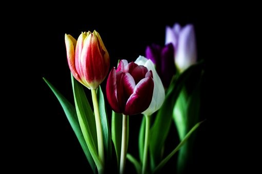 tulips for The Journey Within and spring