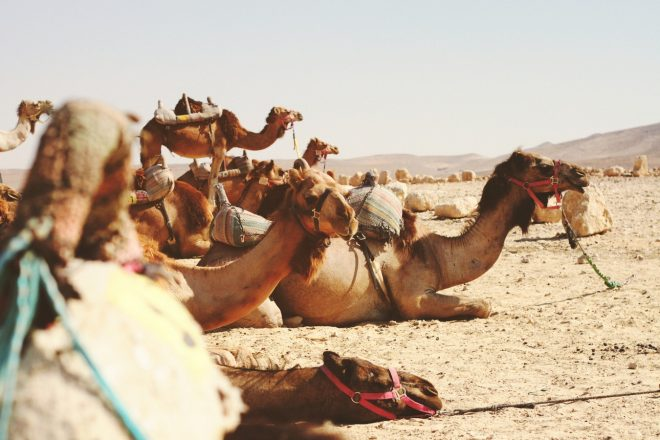 camels represent the middle east