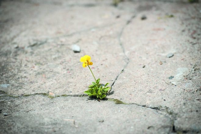 Flower breaking through concrete road during spring days. deciding to live. suicide prevention, suicidal thoughts.