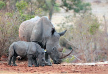 Rhinoceros African wildlife safari animals wilderness savanna white mother baby